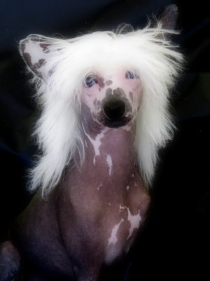 Chinese Crested  puppies for sale with blue eyes